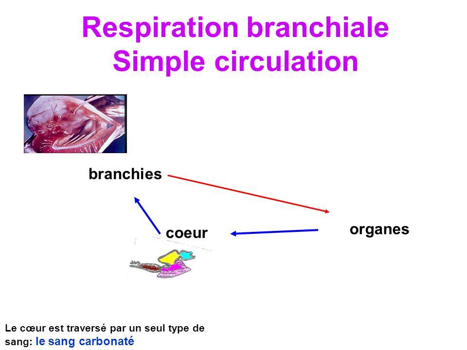 Respiration branchiale Simple circulation branchies coeur organes Le cœur est traversé par un seul type de sang: le sang carbonaté