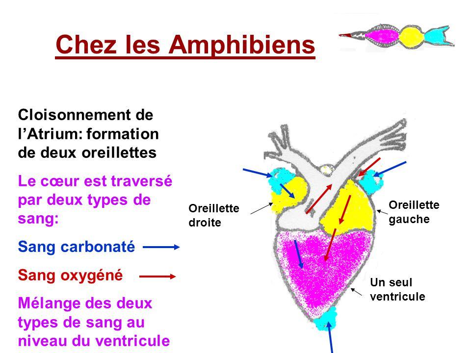 Chez les Amphibiens Cloisonnement de l'Atrium: formation de deux oreillettes Le cœur est traversé par deux types de sang: Sang carbonaté Sang oxygéné Mélange des deux types de sang au niveau du ventricule Oreillette droite Oreillette gauche Un seul ventricule