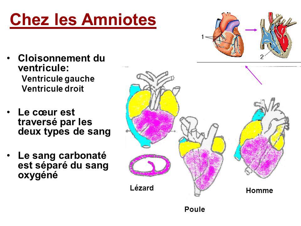 Cloisonnement du ventricule: Ventricule gauche Ventricule droit Le cœur est traversé par les deux types de sang Le sang carbonaté est séparé du sang oxygéné Chez les Amniotes Lézard Poule Homme