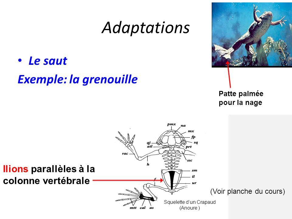 Adaptations Le saut Exemple: la grenouille as : astragale atl : atlas cal : calcaneum f : fémur fp : frontopariétal h : humérus il : ilion mtt : métat