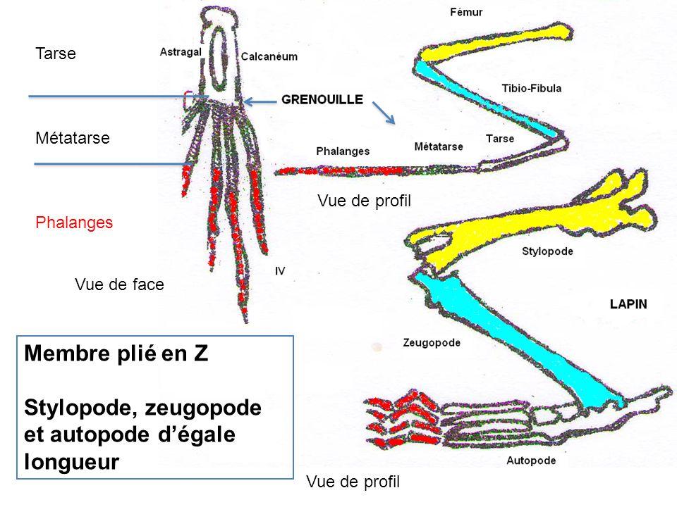 Membre plié en Z Stylopode, zeugopode et autopode d'égale longueur Tarse Métatarse Phalanges Vue de profil Vue de face