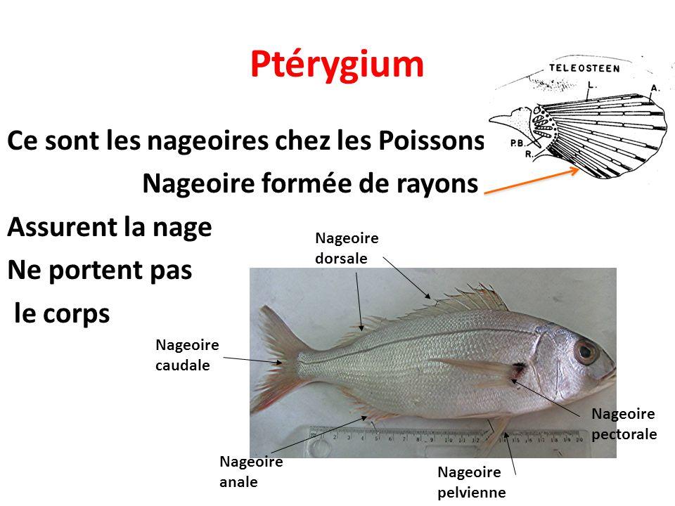 Ptérygium Ce sont les nageoires chez les Poissons Nageoire formée de rayons Assurent la nage Ne portent pas le corps Nageoire dorsale Nageoire caudale