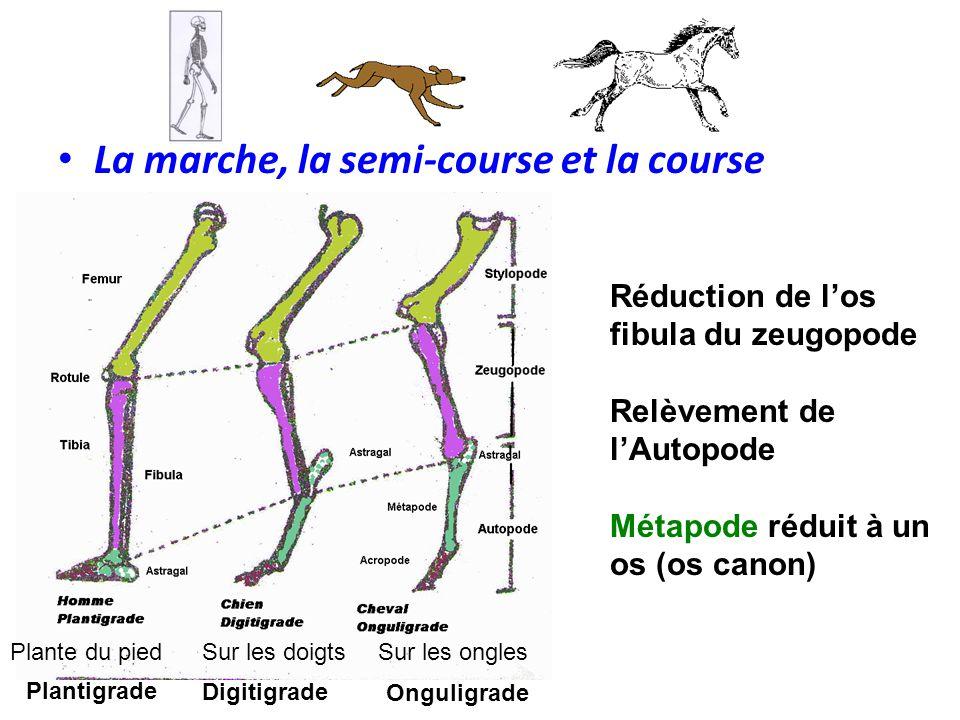 La marche, la semi-course et la course Réduction de l'os fibula du zeugopode Relèvement de l'Autopode Métapode réduit à un os (os canon) Plante du pie