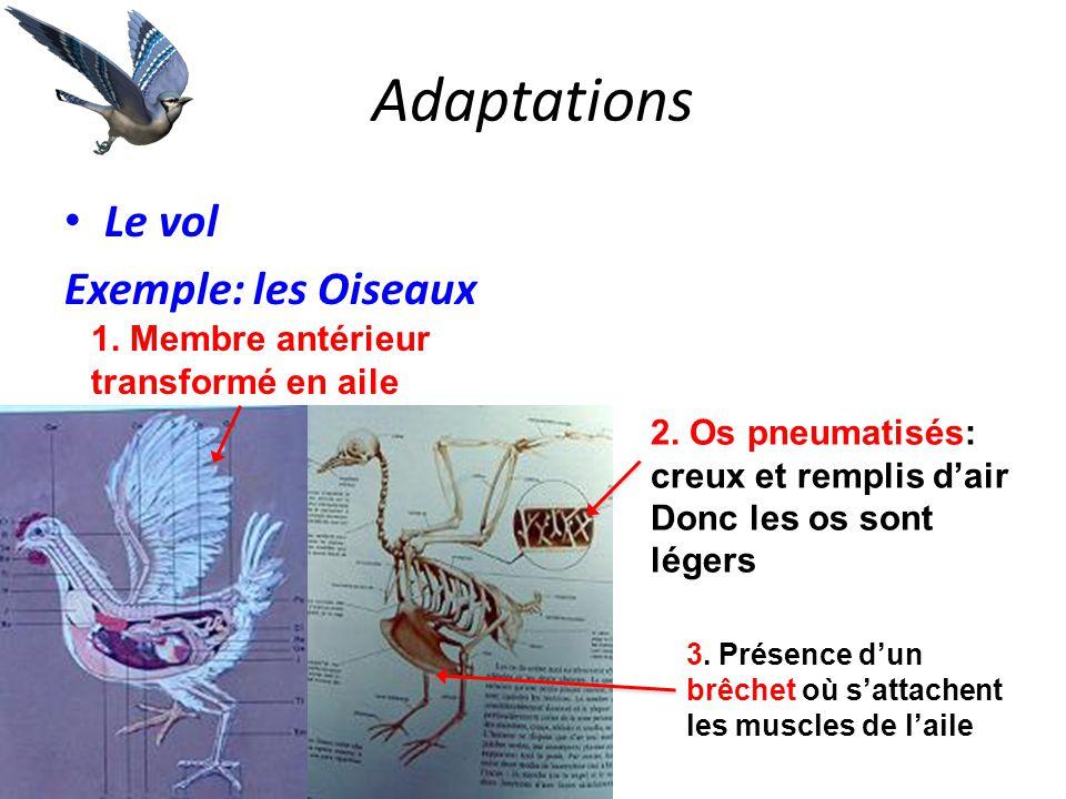 Adaptations Le vol Exemple: les Oiseaux 2. Os pneumatisés: creux et remplis d'air Donc les os sont légers 1. Membre antérieur transformé en aile 3. Pr