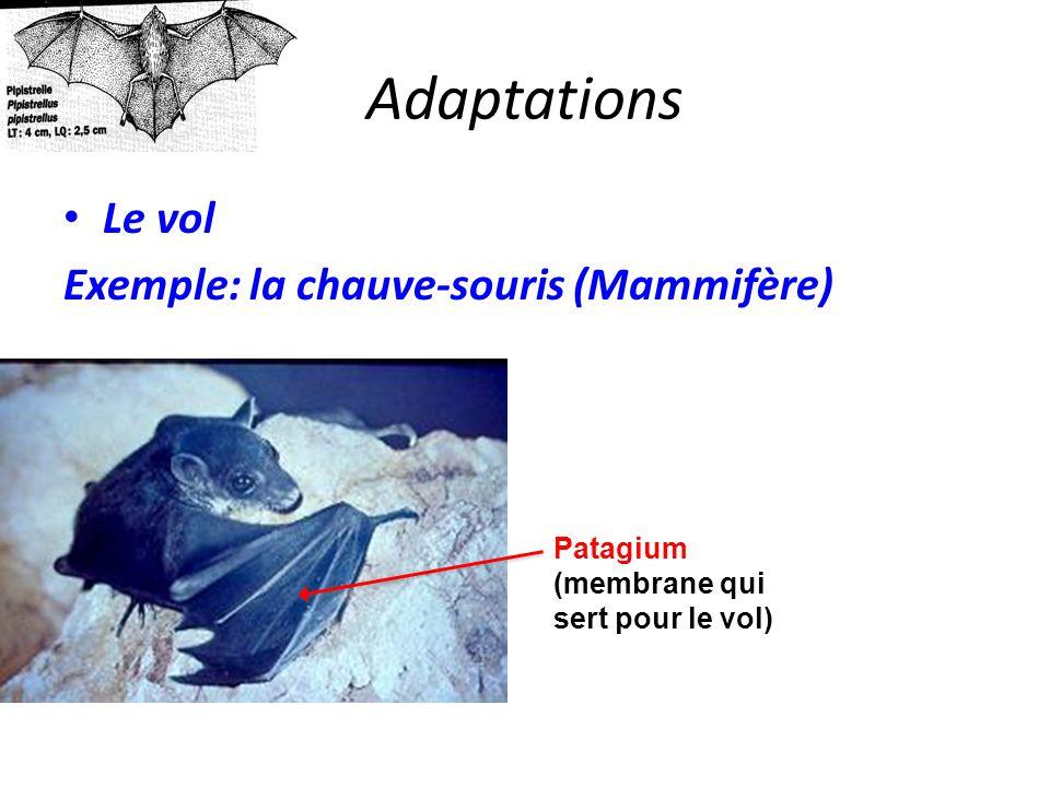 Adaptations Le vol Exemple: la chauve-souris (Mammifère) Patagium (membrane qui sert pour le vol)