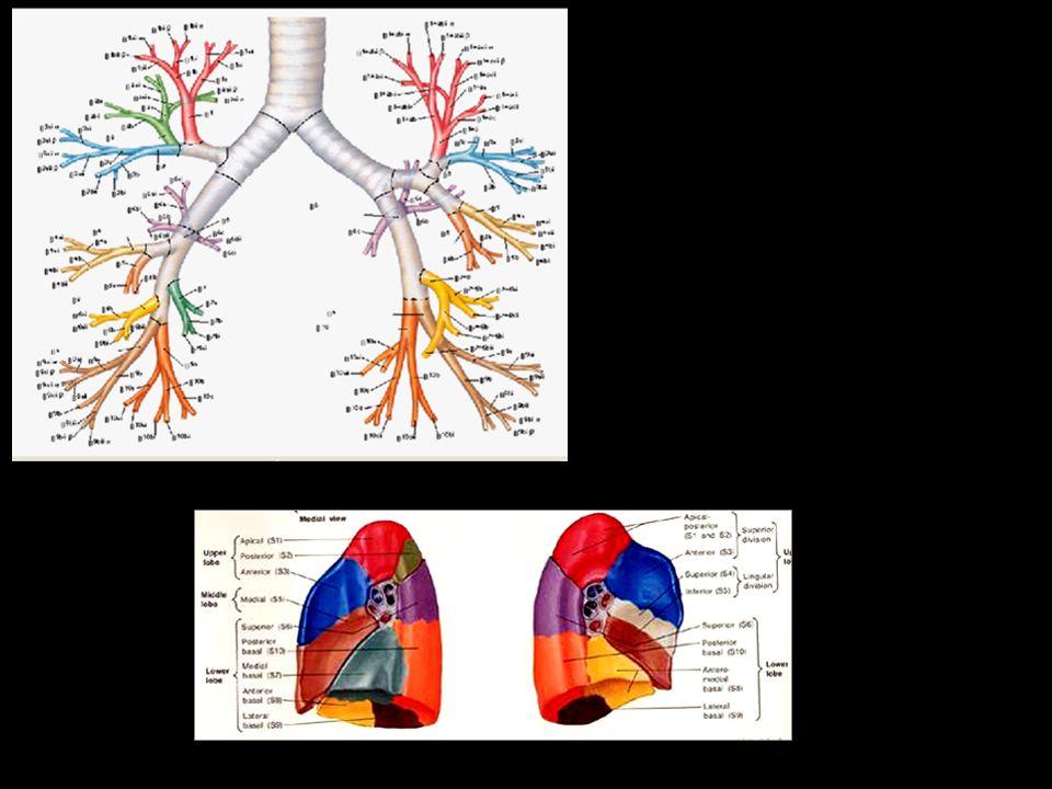 Différentes atteintes pulmonaires Bronchique T.