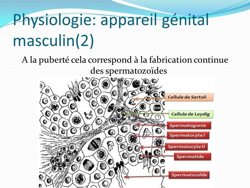 Physiologie: appareil génital masculin(2) A la puberté cela correspond à la fabrication continue des spermatozoïdes