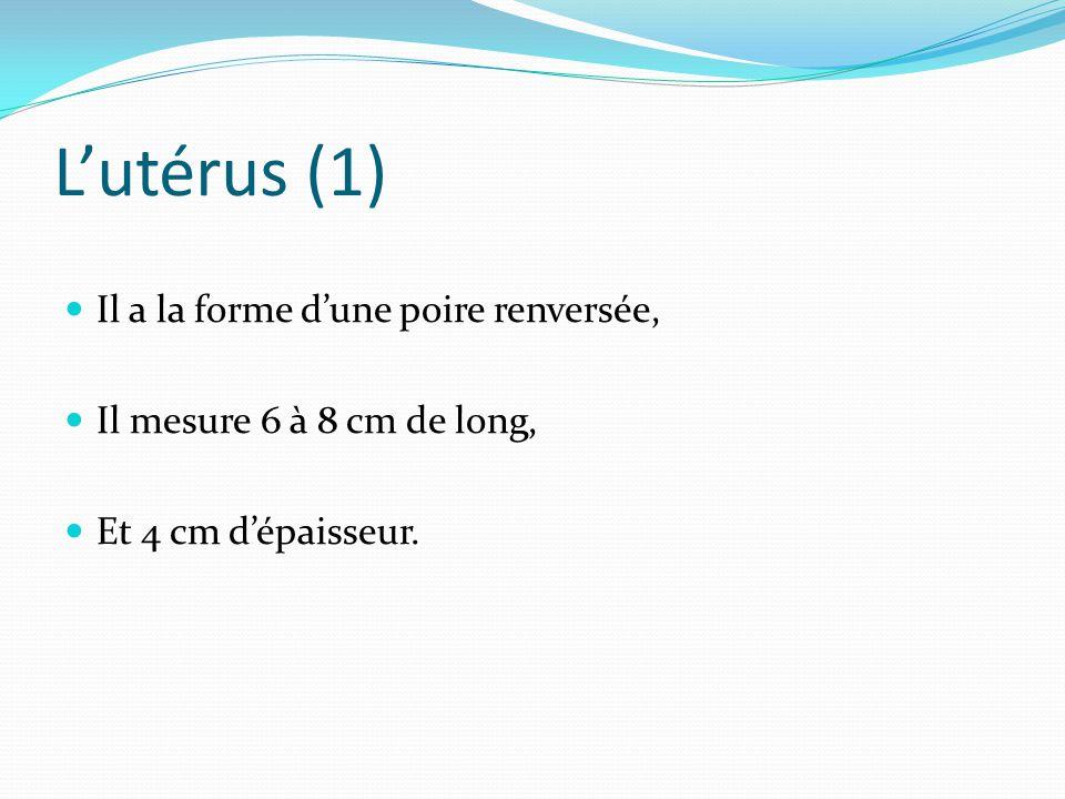 L'utérus (1) Il a la forme d'une poire renversée, Il mesure 6 à 8 cm de long, Et 4 cm d'épaisseur.