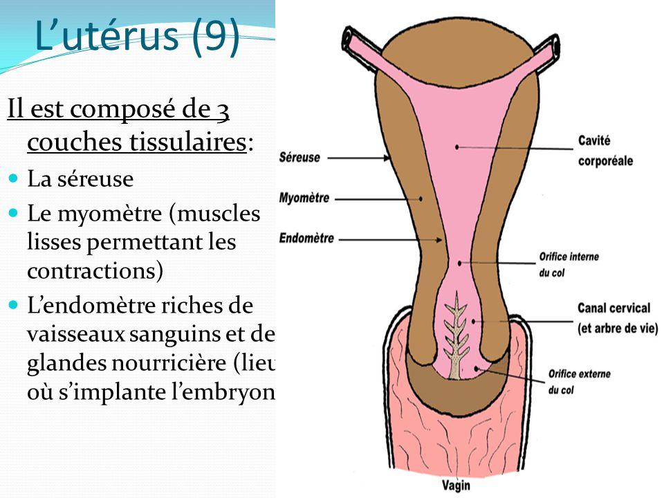 L'utérus (9) Il est composé de 3 couches tissulaires: La séreuse Le myomètre (muscles lisses permettant les contractions) L'endomètre riches de vaisseaux sanguins et de glandes nourricière (lieu où s'implante l'embryon)