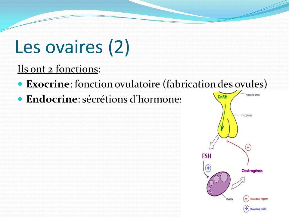Les ovaires (2) Ils ont 2 fonctions: Exocrine: fonction ovulatoire (fabrication des ovules) Endocrine: sécrétions d'hormones