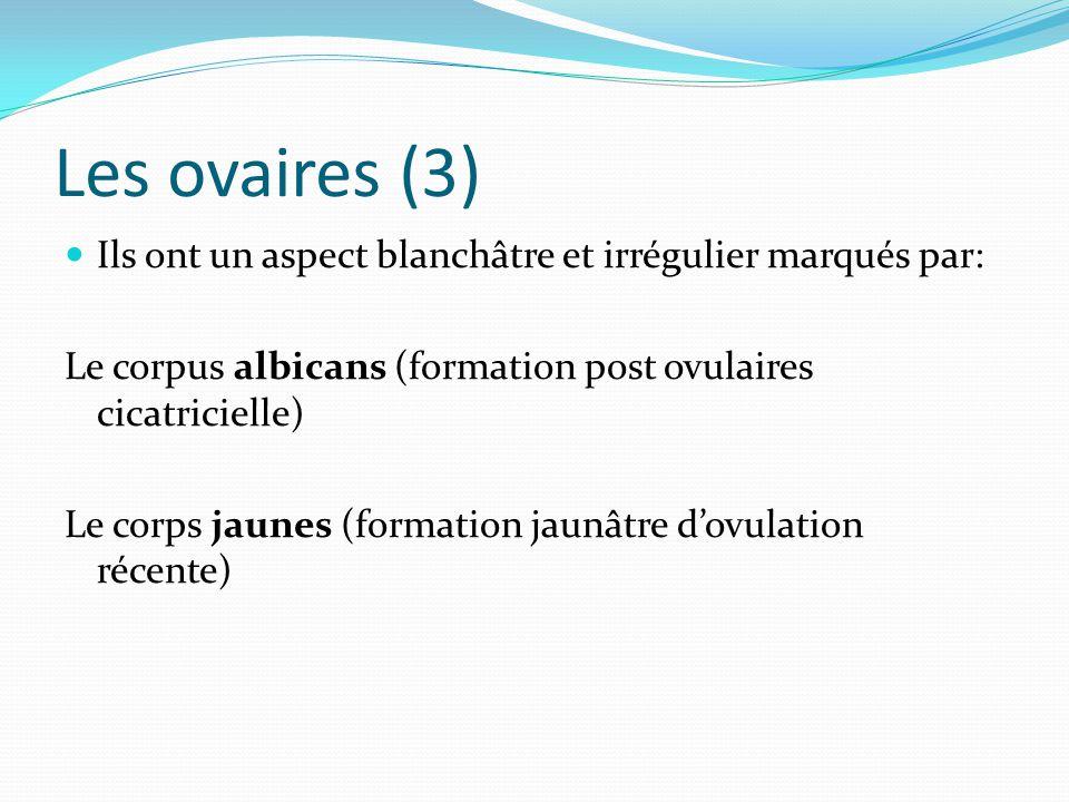 Les ovaires (3) Ils ont un aspect blanchâtre et irrégulier marqués par: Le corpus albicans (formation post ovulaires cicatricielle) Le corps jaunes (f