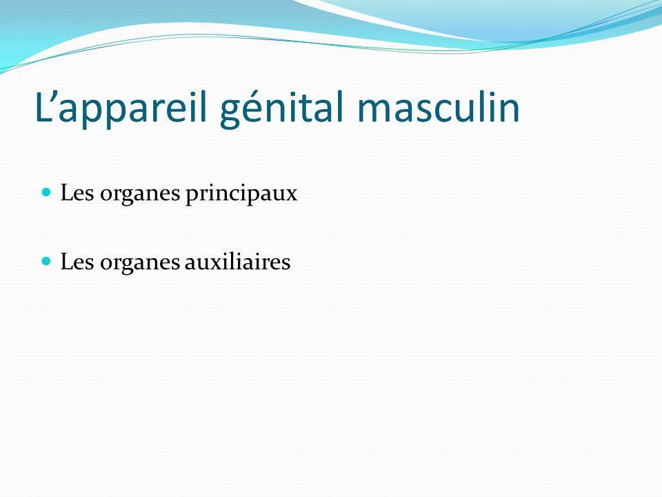 L'appareil génital masculin Les organes principaux Les organes auxiliaires