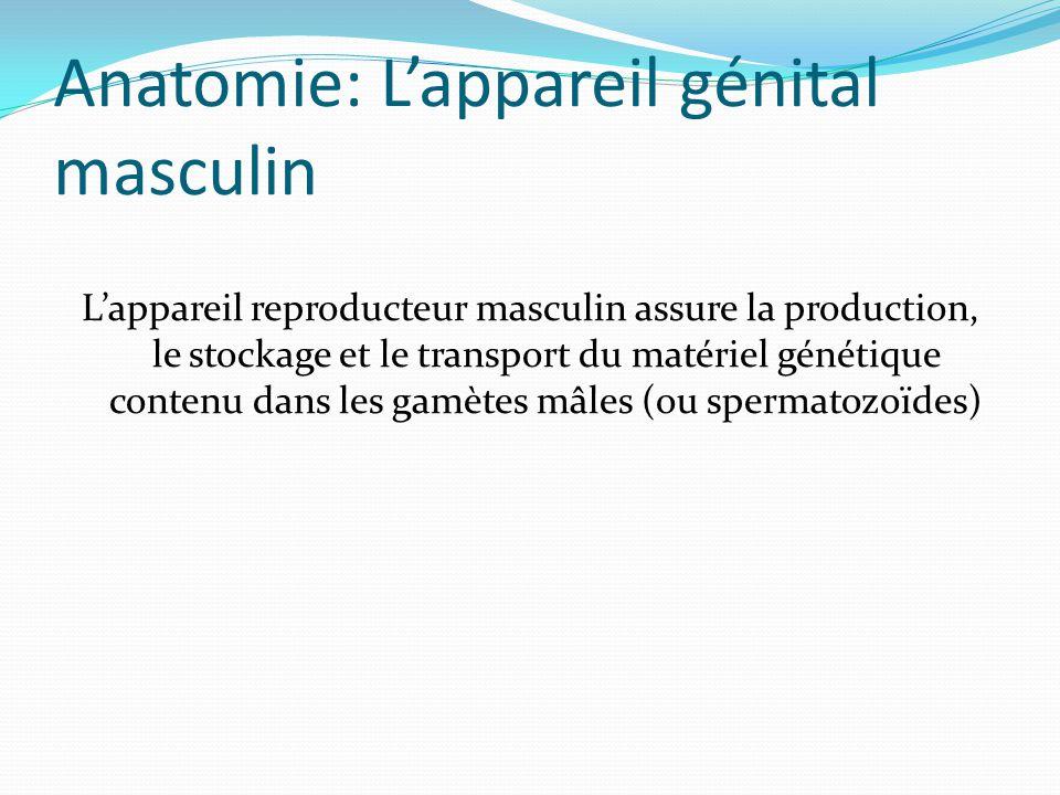 Anatomie: L'appareil génital masculin L'appareil reproducteur masculin assure la production, le stockage et le transport du matériel génétique contenu dans les gamètes mâles (ou spermatozoïdes)