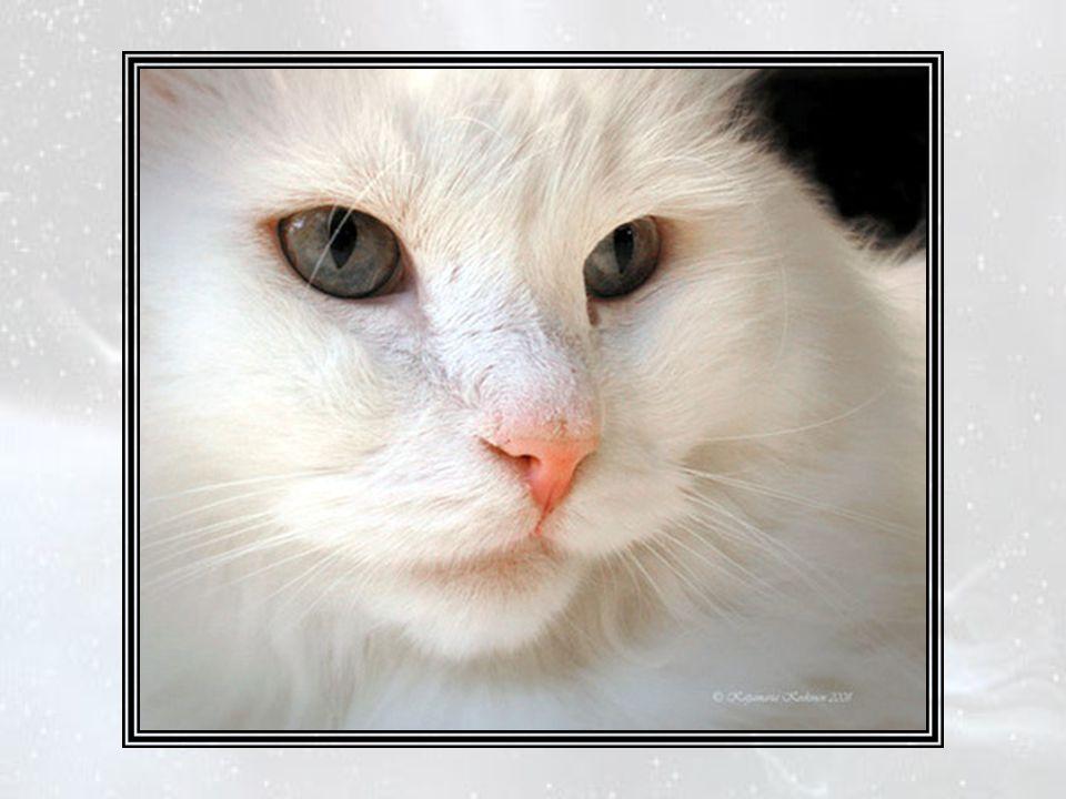 Un magnifique angora blanc dormait sur un coussin particulier, dans le vestiaire.