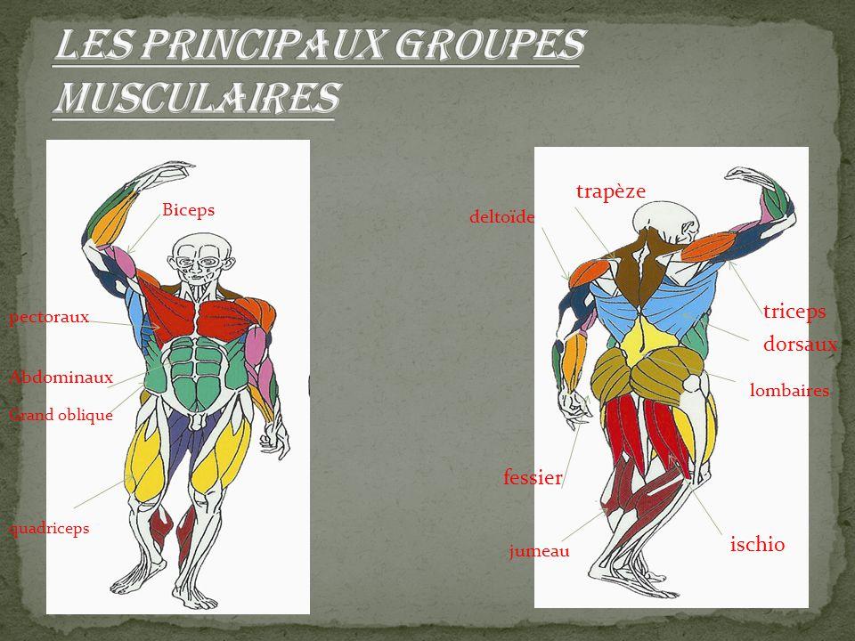 Biceps pectoraux Abdominaux Grand oblique quadriceps trapèze deltoïde triceps dorsaux lombaires fessier jumeau ischio