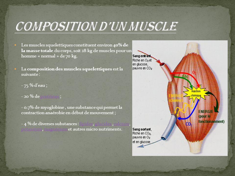 Les muscles squelettiques constituent environ 40% de la masse totale du corps, soit 28 kg de muscles pour un homme « normal » de 70 kg. La composition