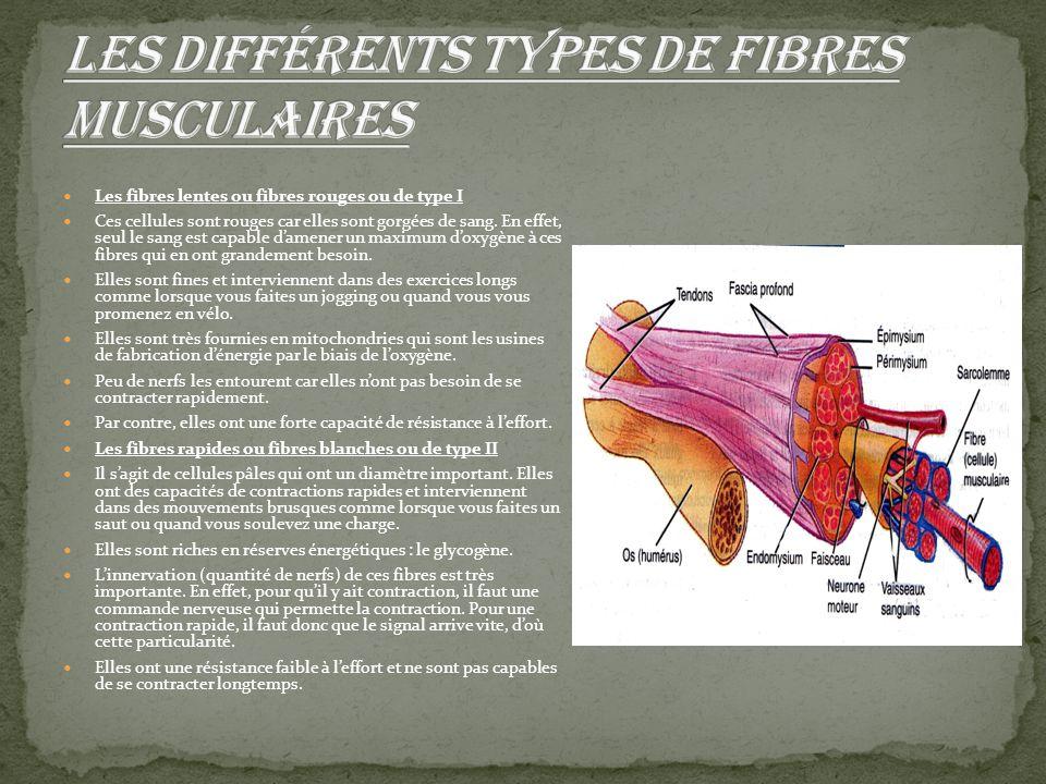 Les fibres lentes ou fibres rouges ou de type I Ces cellules sont rouges car elles sont gorgées de sang. En effet, seul le sang est capable d'amener u