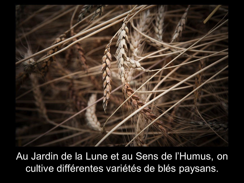 Au Jardin de la Lune et au Sens de l'Humus, on cultive différentes variétés de blés paysans.