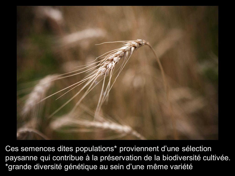 Ces semences dites populations* proviennent d'une sélection paysanne qui contribue à la préservation de la biodiversité cultivée. *grande diversité gé