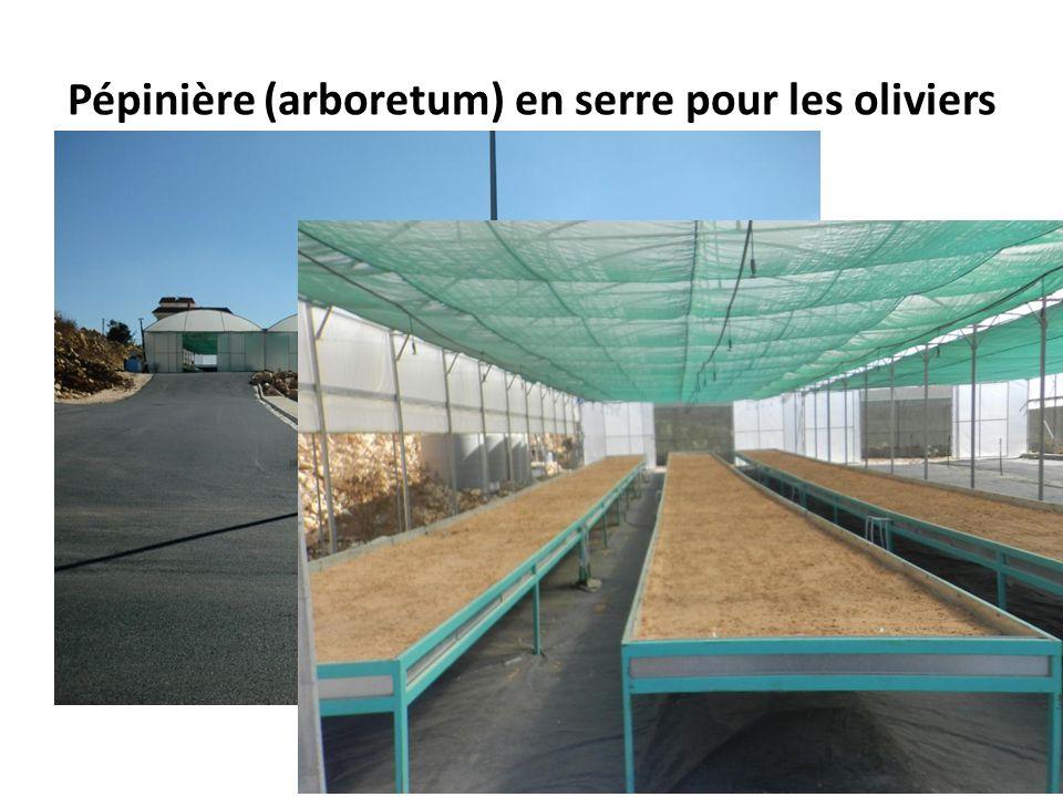 Pépinière (arboretum) en serre pour les oliviers