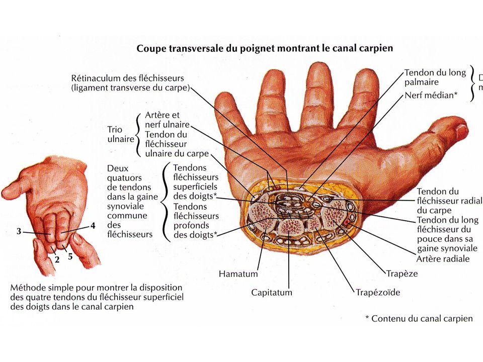 Canal carpien  09 tendons fléchisseurs des doigts long fléchisseur du pouce 08 tendons fléchisseurs superficiels et profond des quatre doigts  Nerf médian