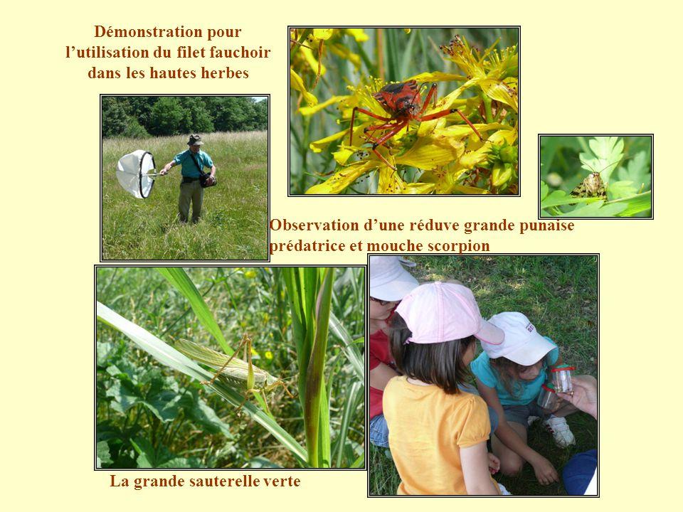 Démonstration pour l'utilisation du filet fauchoir dans les hautes herbes Observation d'une réduve grande punaise prédatrice et mouche scorpion La grande sauterelle verte