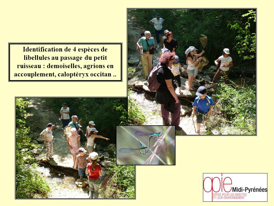 Identification de 4 espèces de libellules au passage du petit ruisseau : demoiselles, agrions en accouplement, caloptéryx occitan..