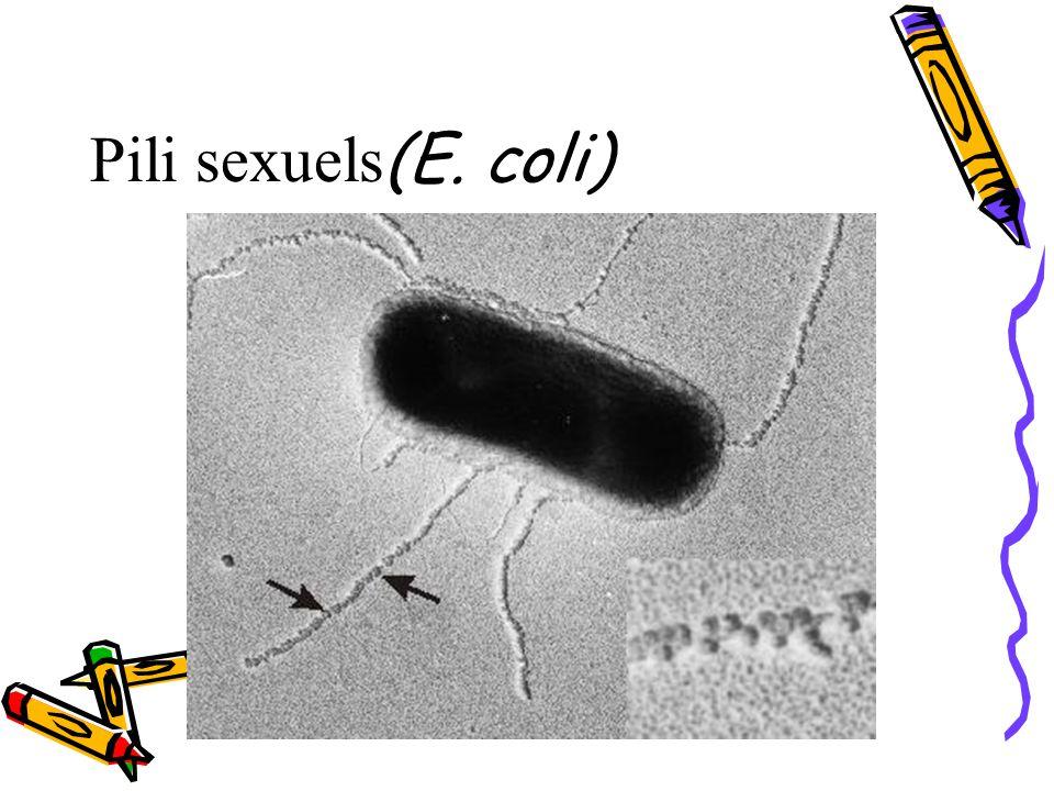 Pili sexuels (E. coli)