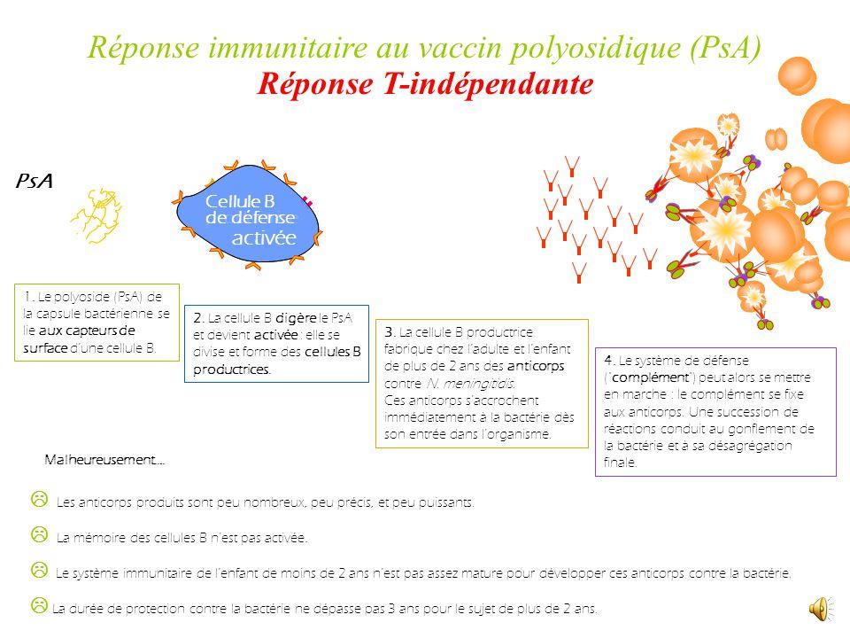 PsA Cellule B productrice Cellule B de défense activée 1.
