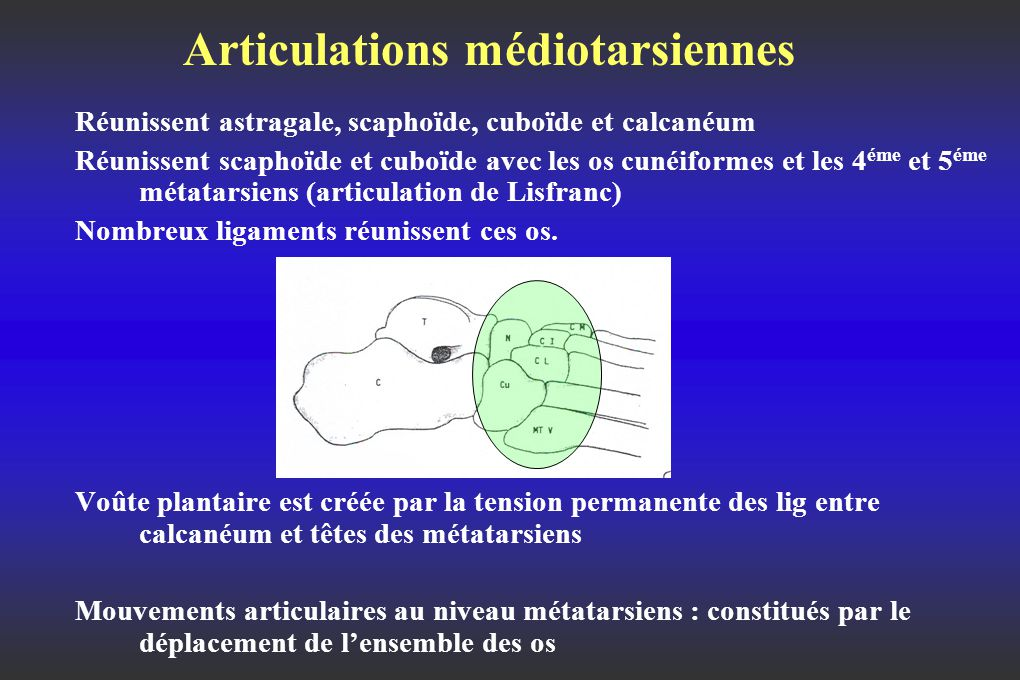 Articulations médiotarsiennes Réunissent astragale, scaphoïde, cuboïde et calcanéum Réunissent scaphoïde et cuboïde avec les os cunéiformes et les 4 éme et 5 éme métatarsiens (articulation de Lisfranc) Nombreux ligaments réunissent ces os.