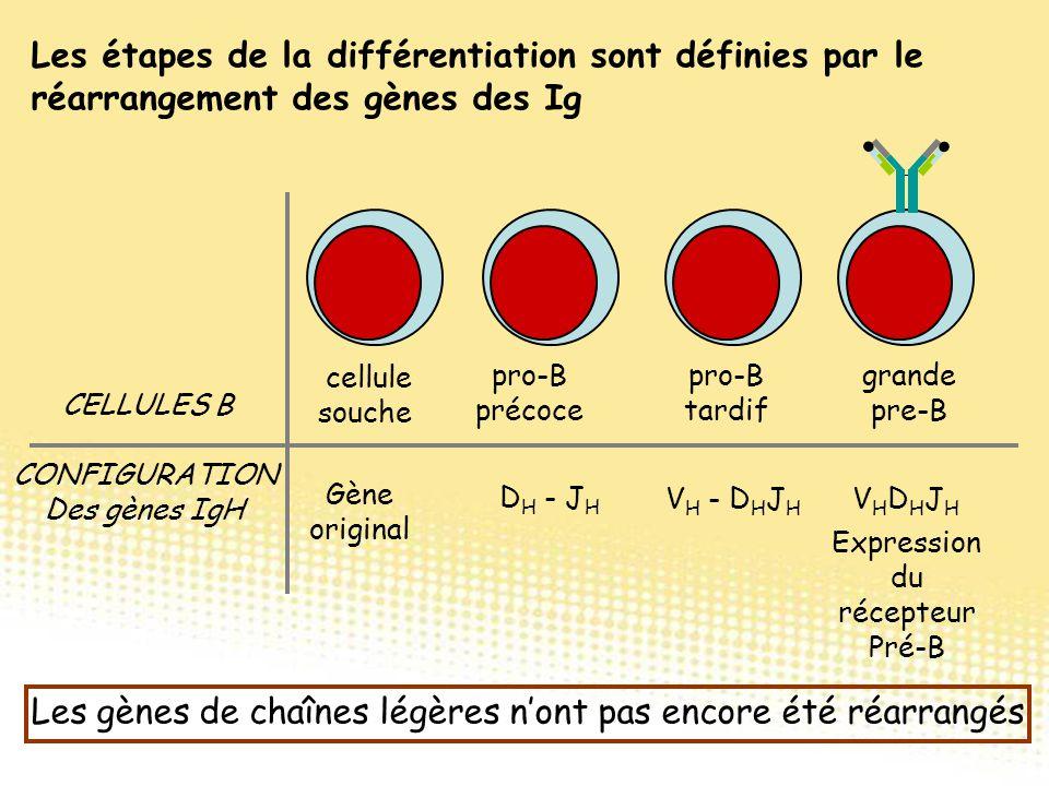Les étapes de la différentiation sont définies par le réarrangement des gènes des Ig CELLULES B CONFIGURATION Des gènes IgH cellule souche pro-B préco