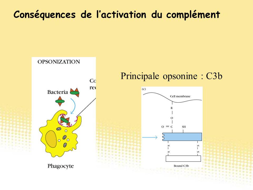 Principale opsonine : C3b Conséquences de l'activation du complément