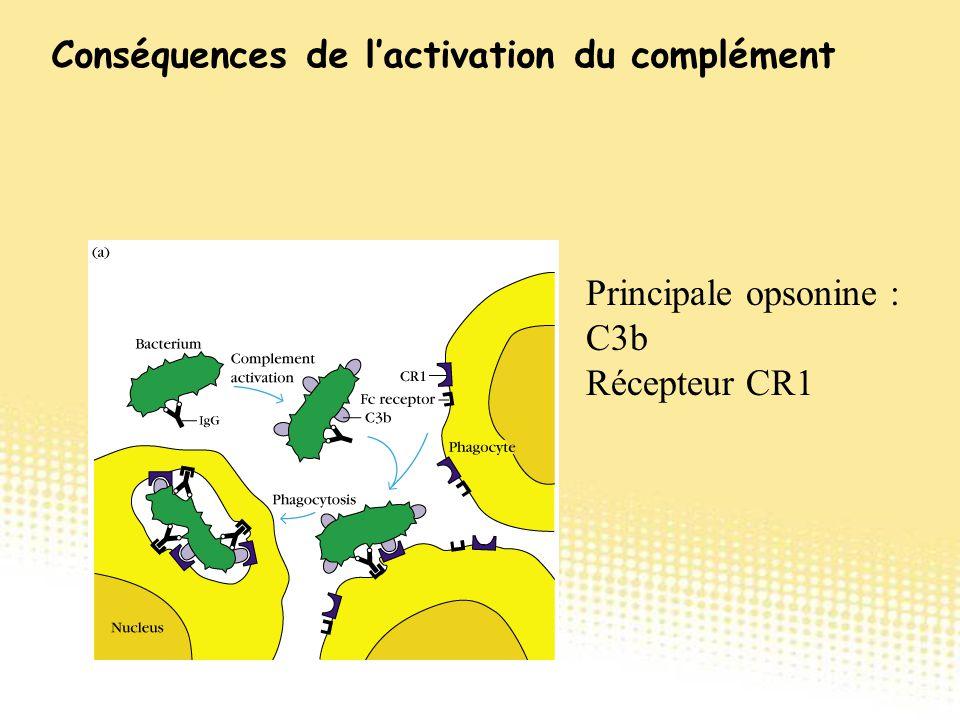 Principale opsonine : C3b Récepteur CR1 Conséquences de l'activation du complément