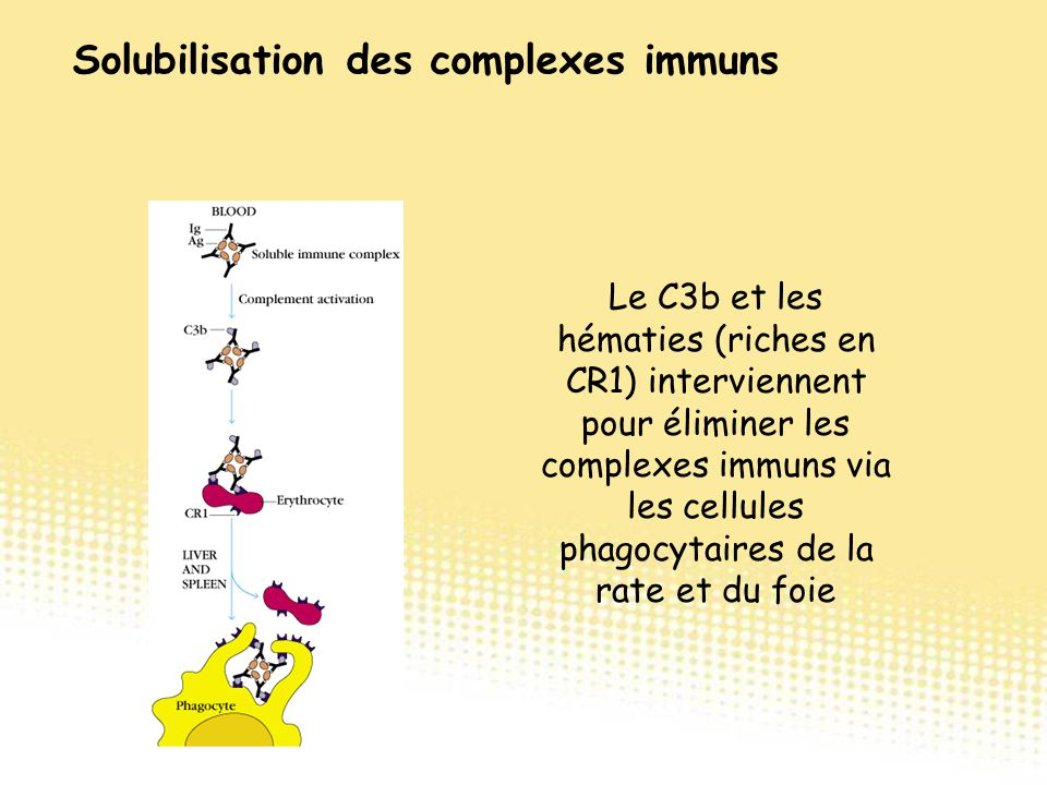 Le C3b et les hématies (riches en CR1) interviennent pour éliminer les complexes immuns via les cellules phagocytaires de la rate et du foie Solubilis