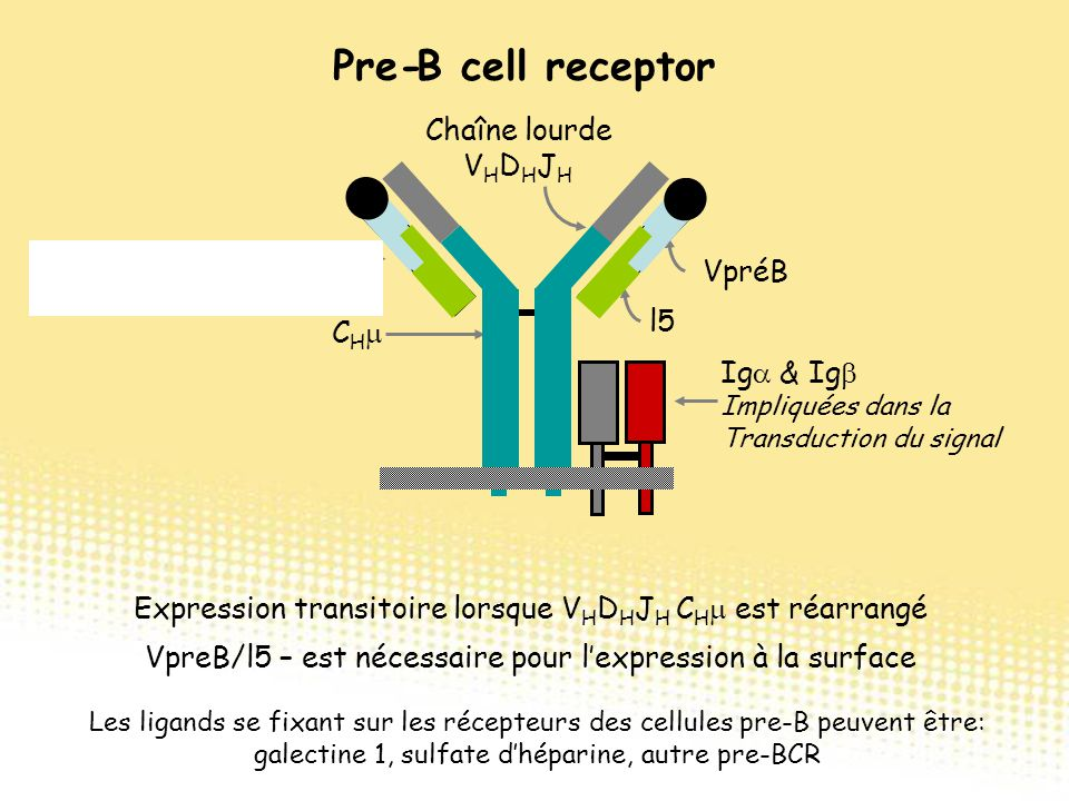 B cell receptor Expression transitoire lorsque V H D H J H C H  est réarrangé VpreB/l5 – est nécessaire pour l'expression à la surface Ig  & Ig  Im