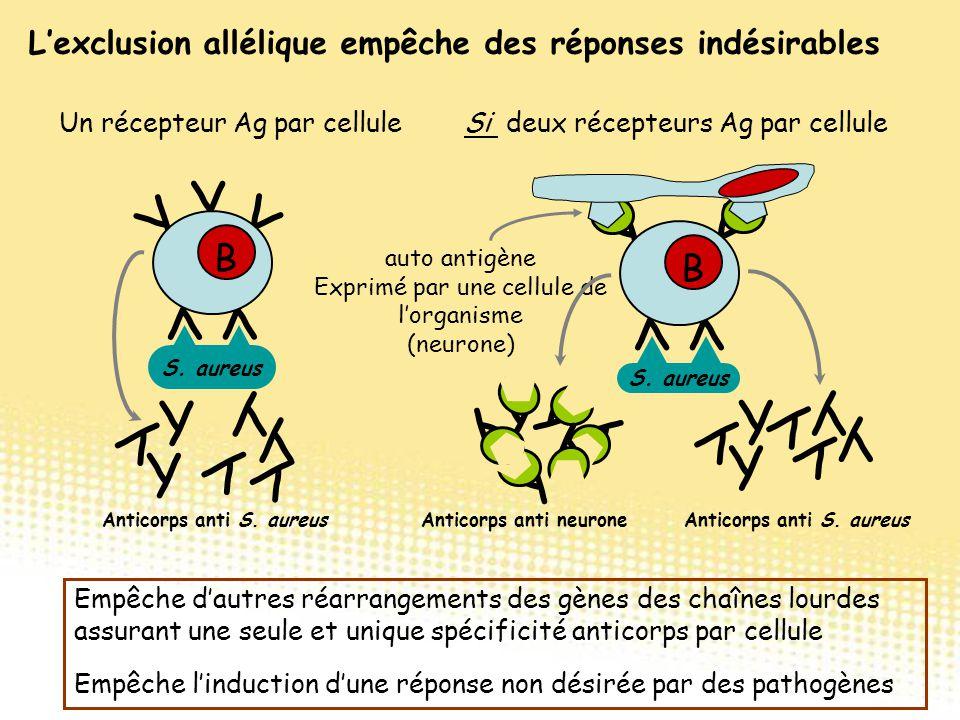 L'exclusion allélique empêche des réponses indésirables Empêche d'autres réarrangements des gènes des chaînes lourdes assurant une seule et unique spé