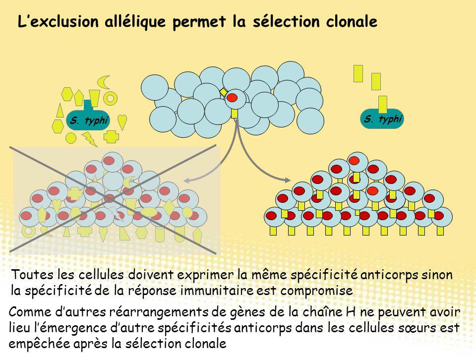 L'exclusion allélique permet la sélection clonale Toutes les cellules doivent exprimer la même spécificité anticorps sinon la spécificité de la répons