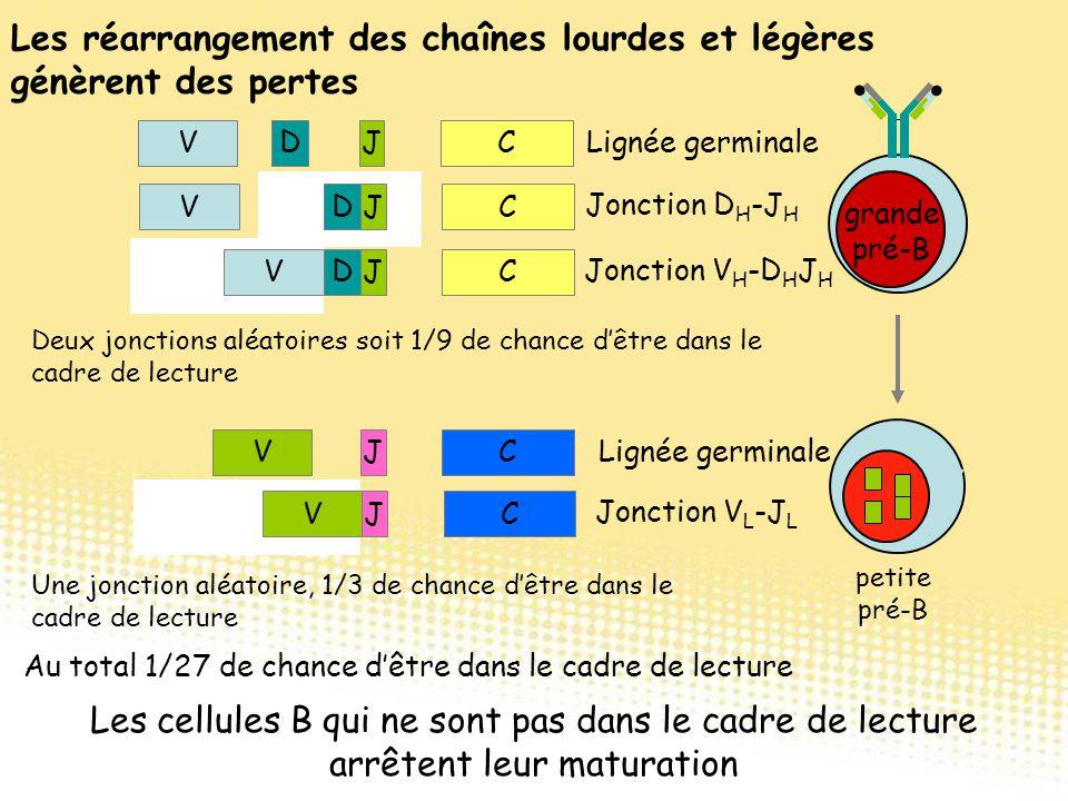 VDJCDJVCDJVCDJ V Lignée germinale Jonction D H -J H Jonction V H -D H J H VJCVCJ V Lignée germinale Jonction V L -J L Les réarrangement des chaînes lo