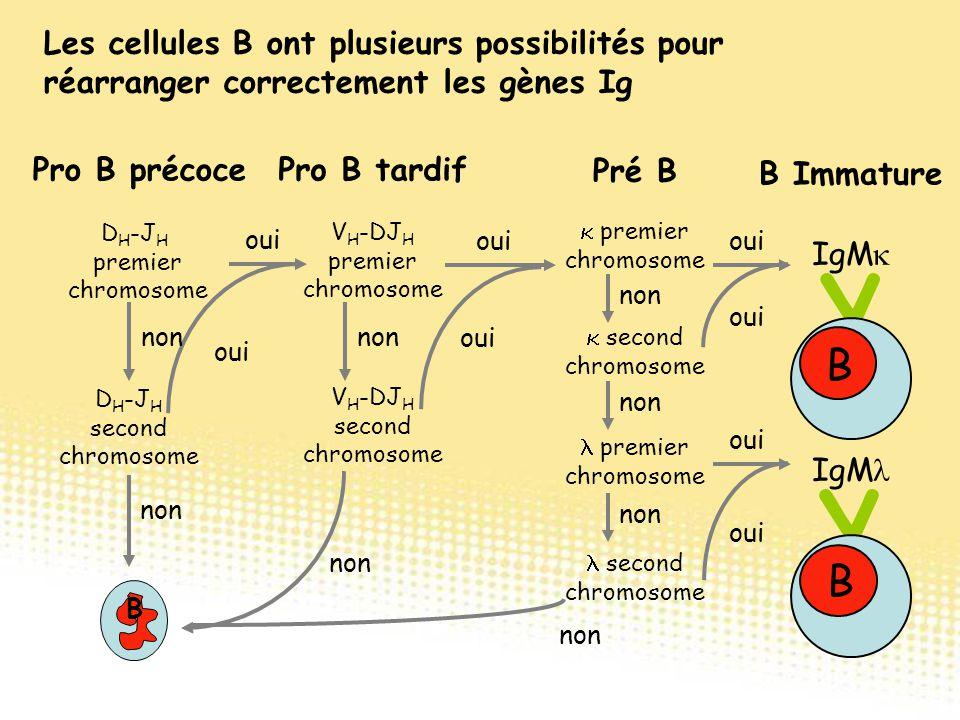 Les cellules B ont plusieurs possibilités pour réarranger correctement les gènes Ig Pro B précocePro B tardif Pré B V H -DJ H premier chromosome V H -
