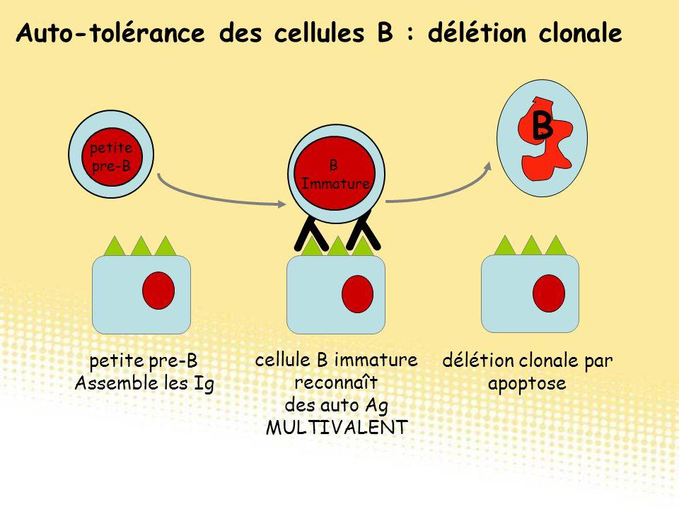 Auto-tolérance des cellules B : délétion clonale cellule B immature reconnaît des auto Ag MULTIVALENT B délétion clonale par apoptose Y Y B B Immature