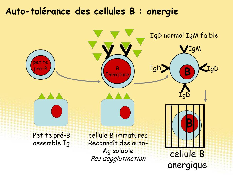 Y B Y Y Y B cellule B anergique IgD normal IgM faible cellule B immatures Reconnaît des auto- Ag soluble Pas dagglutination Y Y B B Immature B petite