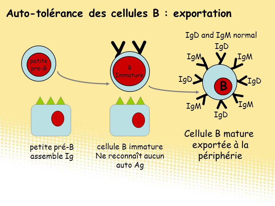 Y Y Y Y Y Y Cellule B mature exportée à la périphérie Y Y IgD and IgM normal IgM IgD IgM cellule B immature Ne reconnaît aucun auto Ag Y Y B B Immatur