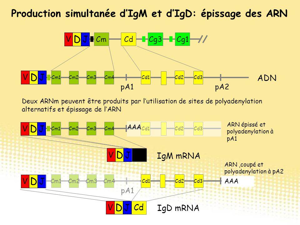 Production simultanée d'IgM et d'IgD: épissage des ARN Cm1 Cm2Cm3Cm4 Cd1Cd2 Cd3 pA1 V D J Cm1 Cm2Cm3Cm4 Cd1Cd2 Cd3 V D J AAA ARN,coupé et polyadenylat