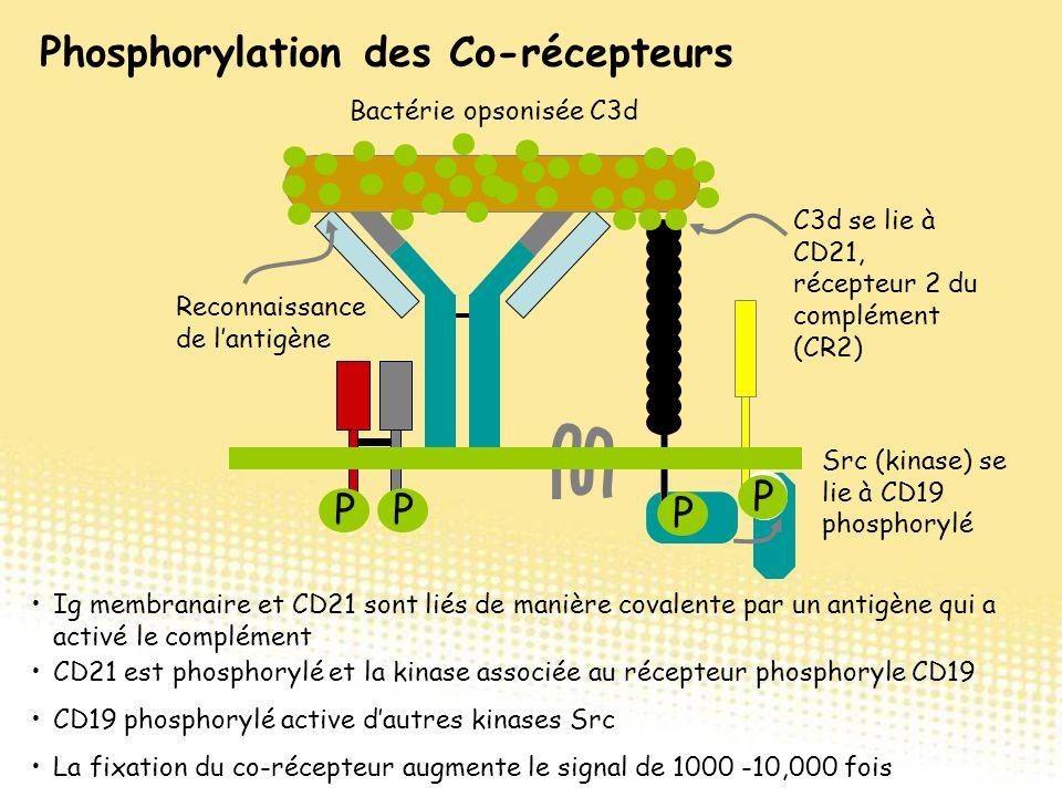 Src (kinase) se lie à CD19 phosphorylé Reconnaissance de l'antigène Bactérie opsonisée C3d Ig membranaire et CD21 sont liés de manière covalente par u