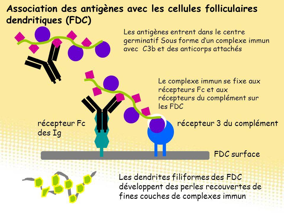 Association des antigènes avec les cellules folliculaires dendritiques (FDC) Les antigènes entrent dans le centre germinatif Sous forme d'un complexe