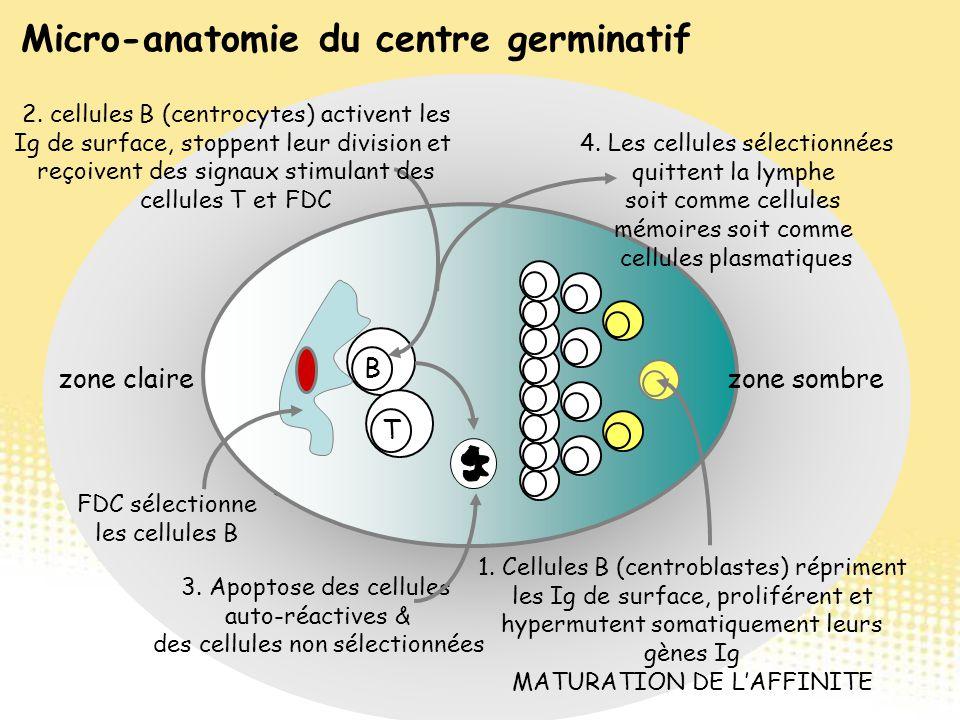 Follicules Primaires se transforment en follicules secondaires lorsque les centres germinatifs se développent zone sombre zone claire B T FDC sélectio