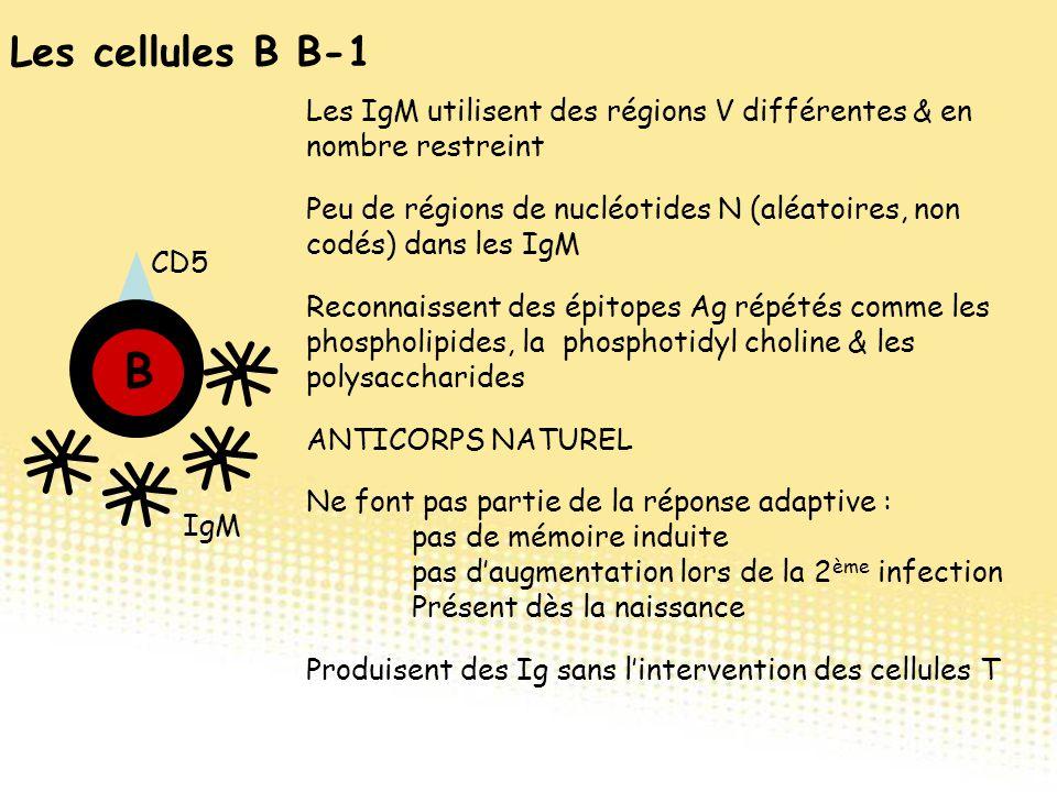 CD5 B Y Y Y Y Y Y Y Y Y Y Y Y Y Y Y Y Y Y Y Y IgM Les cellules B B-1 Les IgM utilisent des régions V différentes & en nombre restreint Reconnaissent d