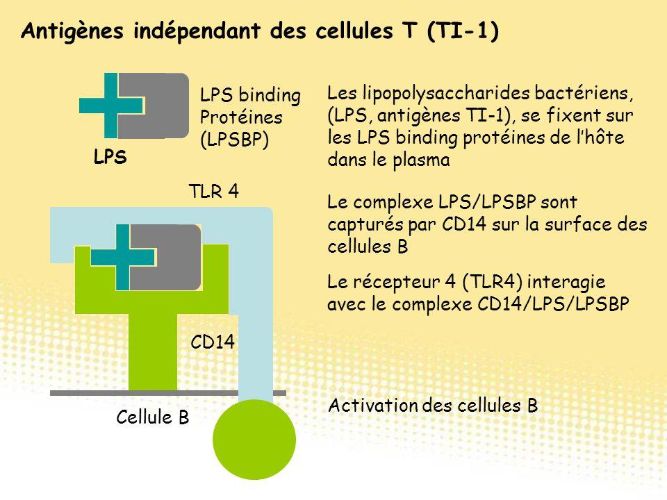 LPS LPS binding Protéines (LPSBP) CD14 Cellule B Les lipopolysaccharides bactériens, (LPS, antigènes TI-1), se fixent sur les LPS binding protéines de