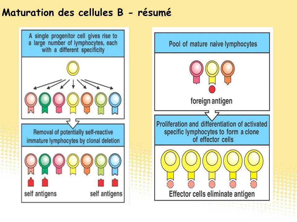 Maturation des cellules B - résumé