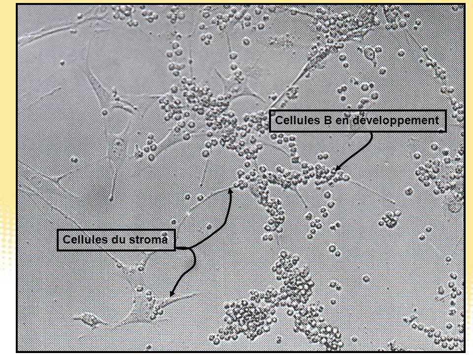 Cellules du stroma Cellules B en développement